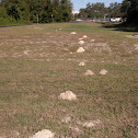 Pocket Gopher mounds