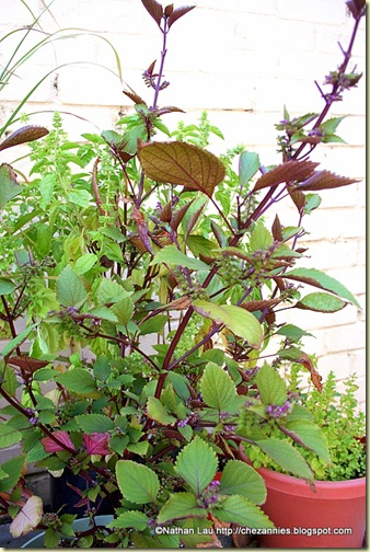 Potted Red Shiso plant