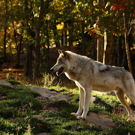 Back lit beauty by Christine Chambers - Animals Other ( nature, wolf, fall, wildlife, nature photography )