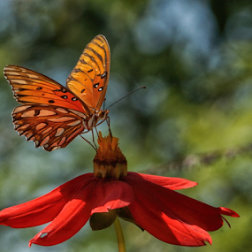 Butterfly and red flower by Cristobal Garciaferro Rubio - Animals Insects & Spiders ( butterfly, wings, leaf, leaves, bokeh, flower )