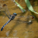 Great Blue Skimmer dragonfly (female, oviposition, in flight)