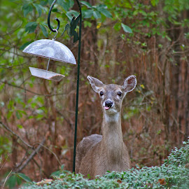 Deer Deer, I thought it was the squirrel stealing the birdseed! by Wendy Purdy - Animals Other ( deer birdseed steal funny garden )