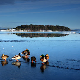 Ducks on ice by Susan Fraser - Landscapes Waterscapes ( water, winter, ice, oslo, oslofjord, reflections, duks, blues, norway, fjord )