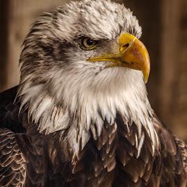Confident by Garry Chisholm - Animals Birds ( bird, garry chisholm, eagle, nature, wildlife, prey, raptor )