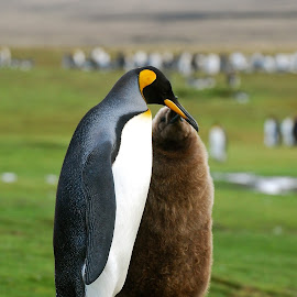 Mother and baby King Penguin by Janet Rose - Novices Only Wildlife