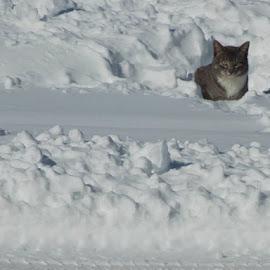 by Bridgette Dorsett - Animals - Cats Portraits (  )