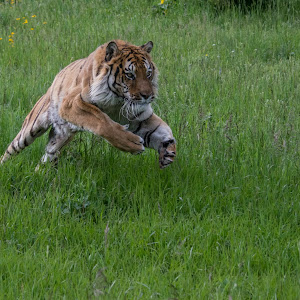 Texaco Tiger.jpg