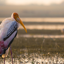 Painted Stork by Jasraj Date - Novices Only Wildlife ( morning glory, wildlife, painted_stork, birds, colours )