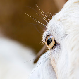 Goat Eye by Kingsly Xavier George - Animals Other Mammals ( eos 7d, macro, goat )