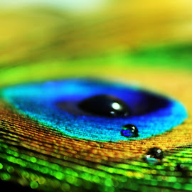 Peacock Feather by Shreyas Gursal - Nature Up Close Other Natural Objects ( #beauty, #feather, #colors, #waterdrops, #macro )