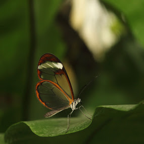 Glasswing Butterfly by Kelly Lippitt - Animals Insects & Spiders ( butterfly, macro, glass, solitude, leaf )