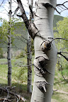 Aspen tree bark detail - near Ketchum, Idaho