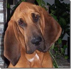 bloodhound101503a
