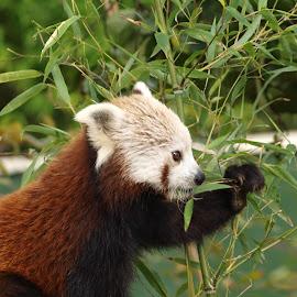 Shepreth Panda 6 by Garry Chisholm - Animals Other Mammals ( bear, garry chisholm, red, nature, panda, wildlife, mammal )