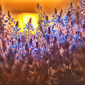 Sunset flowers by MIhail Syarov - Nature Up Close Other plants ( field, orange, wild, blue, sunset, fluwers, sun, orange. color )