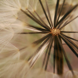 Dandelion by Dee Dot - Novices Only Macro