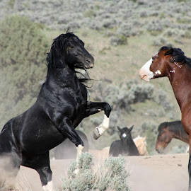 No Backing Down by Kathy Tellechea - Animals Horses ( mares, branded, stallions, black and white, blm, pinto, fighting, bay pinto, rearing,  )