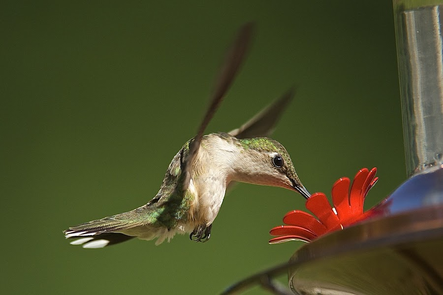 My Neck Hurts by Roy Walter - Animals Birds ( flight, animals, wings, hummingbird, feeding, feathers, birds )
