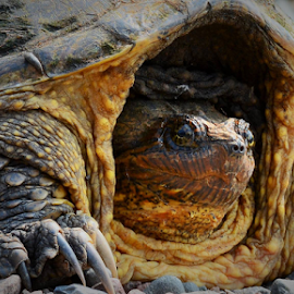 Snapping Turtle by Jill Beim - Animals Reptiles ( modern day dinosaur, snapping turtle, turtle,  )