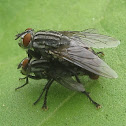 Flesh Flies Mating