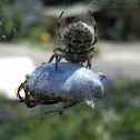 Orb Weaver with beetle