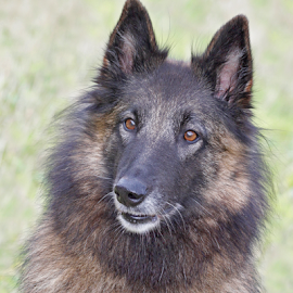 Finnish Champion of Tracking by Mia Ikonen - Animals - Dogs Portraits ( champion, belgian shepherd tervueren, female, finland, adorable,  )