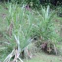 Sugarcane, Ko