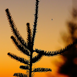 by Helen Bagley - Nature Up Close Trees & Bushes ( tree, nature, sunset, spider, evergreen )