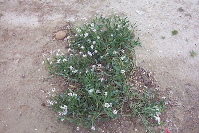 Cakile maritima, European searocket, Ravastrello marittimo, sea rocket