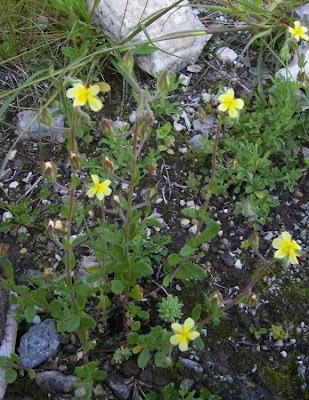 Helianthemum salicifolium, Eliantemo annuale, Willow Leaved Rockrose, willowleaf frostweed