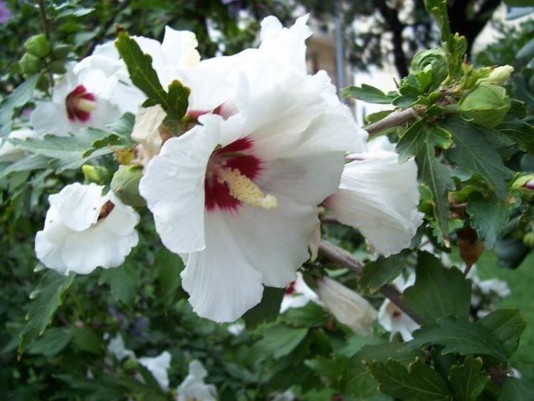 hibiscus_syriacus_16.jpg