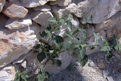 Solanum nigrum, black nightshade, common nightshade, deadly nightshade, Erba morella, erva-moira, erva-moura, garden nightshade, hierba mora, Morella comune, morelle noire, pimenta-de-galinha, poisonberry, rva-moura