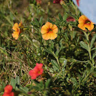 Petunia MiniBells (volunteers)