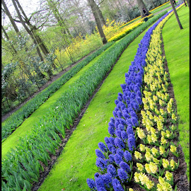 Rows of Color by Kathy Habets - Novices Only Flowers & Plants ( color, keukenhof, holland, flowers, netherlands, rows )