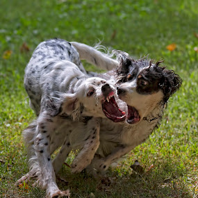 by Andrew Lawlor - Animals - Dogs Playing