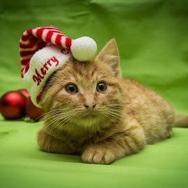 Waiting for Santa by Mănăilă TeoDora - Animals - Cats Kittens