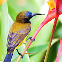 Olive Backed Sun-bird (Male)