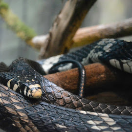 Tiger Rat Snake by Robert Briggs - Animals Reptiles ( serpent, snake, constrictor, tiger rat snake, rat snake, wildlife, deadly )
