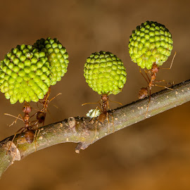 working together by Bungsu Sumawijaya - Animals Insects & Spiders