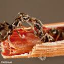 Cornfield Ants