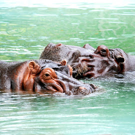 Hippos @ Memphis Zoo by Michael Hudgens - Animals Other (  )