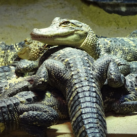 by Pal Mori - Animals Reptiles