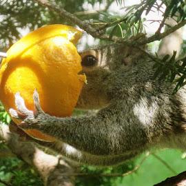 Citrus Squirrel by Erika  Kiley - Novices Only Wildlife ( orange, food, eating, squirrel )