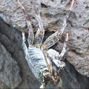 Thin-shelled Rock Crab