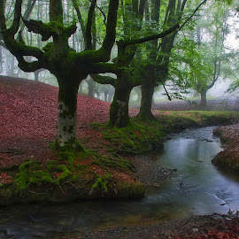 The Magic of Fog by Silvia Romero - Landscapes Forests ( fog, forest, beech )