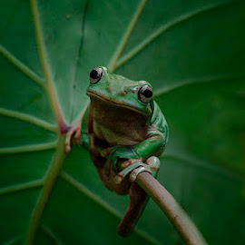 funny frog by Alonk's Roby - Animals Amphibians