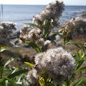 Seaside Goldenrod