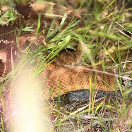 Diamond Back Rattlesnake by Matt Dittsworth - Animals Reptiles ( snake, strike, venom, rattlesnake, diamond back, reptile )