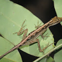 Common Forest Anole