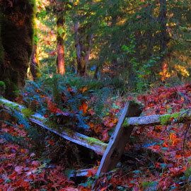 Old Fence by Christy  Hidalgo - Landscapes Forests ( fence, autumn, fall, trees, leaves, country,  )